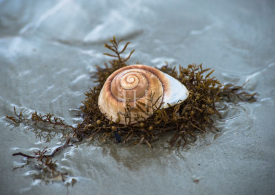The-Seashell-with-Seaweed-R