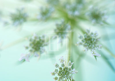 Queen-Anne's-Lace-2-FTG