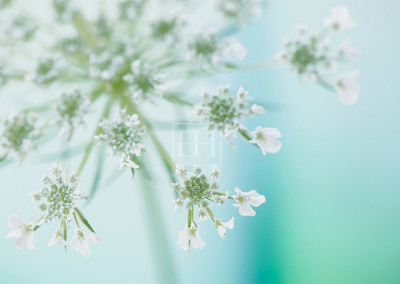Queen-Anne's-Lace-4-FTG