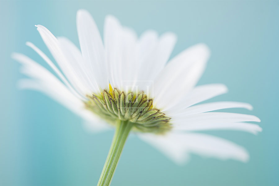 White Daisy Wings mindful Healthcare Art in turquoise white and green from Elizabeth Hesp Fine Art's Floral Tranquil Garden Gallery